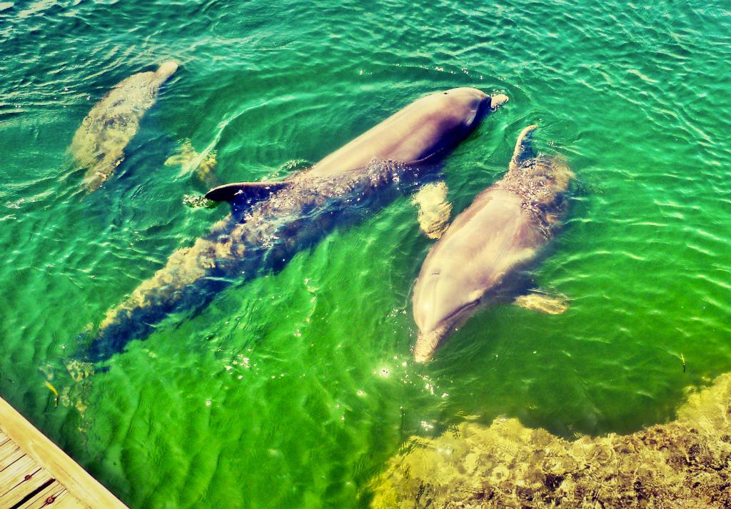 caribbean-dolphins