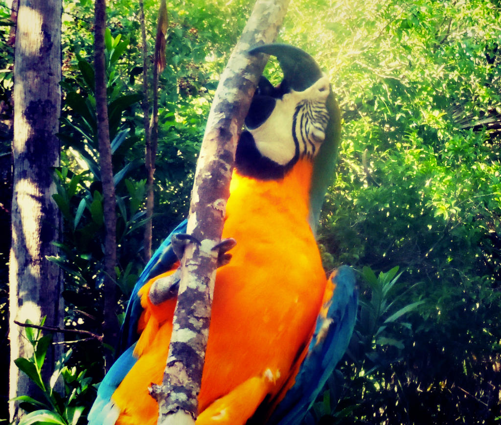 caribbean-parrot