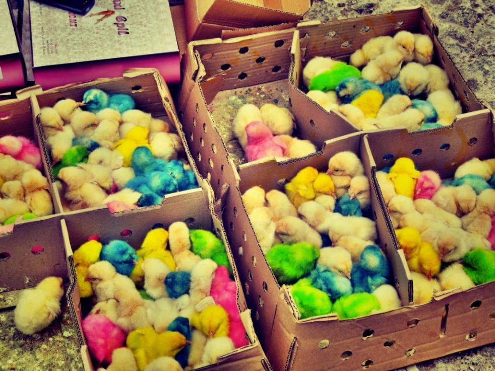 medina colored chicks