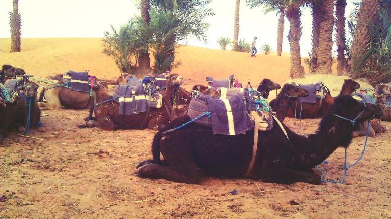 queing camels